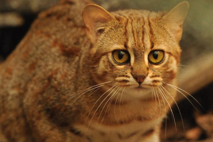 Золотиская бенгальская кошка