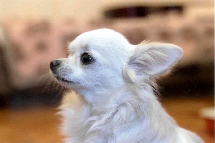 мелкая порода собак