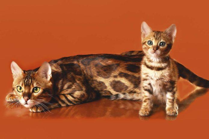 Бенгальская кошка и котёнок