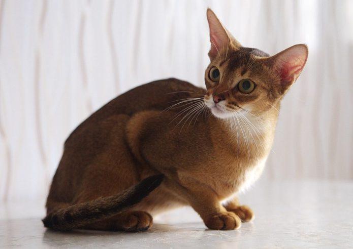Абиссинская короткошёрстная кошка