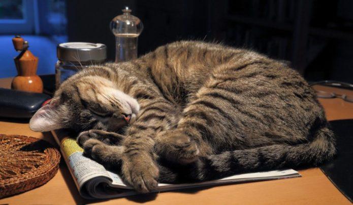 Серая кошка спит на столе