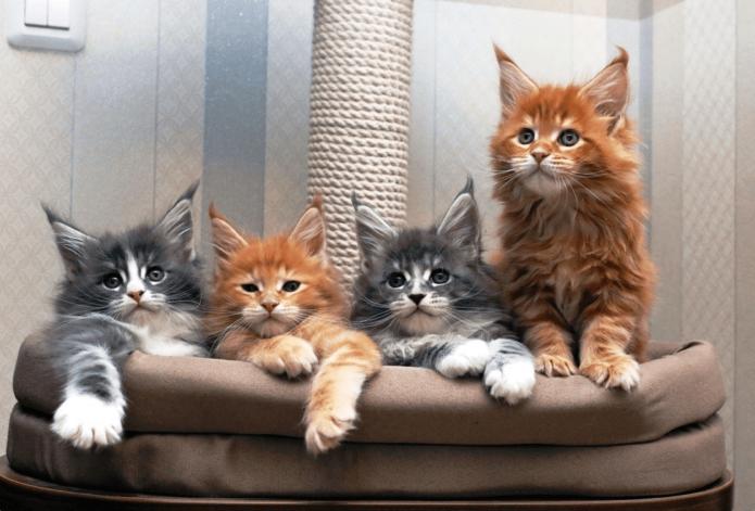 Котят породы мейн-кун