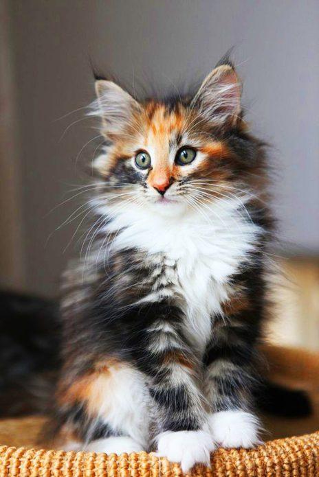 котёнок породы мейн-кун