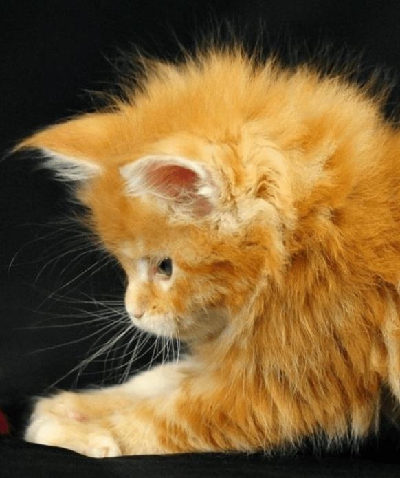 рыжий котёнок породы мейн-кун
