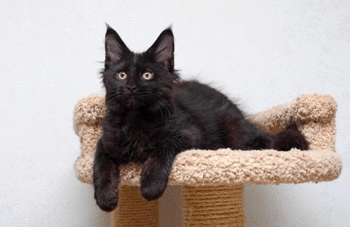 чёрный котёнок породы мейн-кун