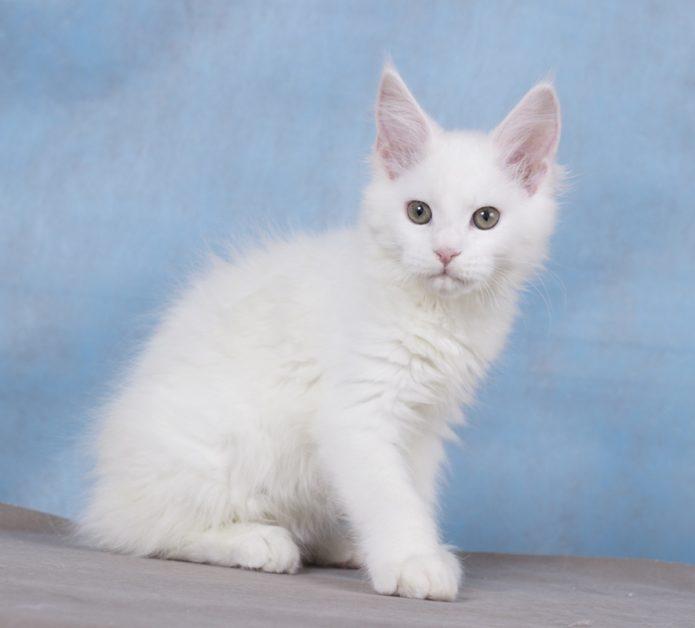 белый котёнок породы мейн-кун