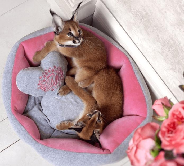 Котята каракала на лежаке