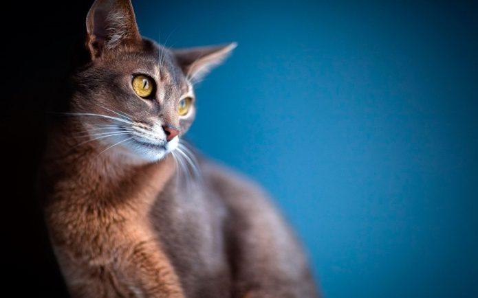 Кошка абиссинской породы
