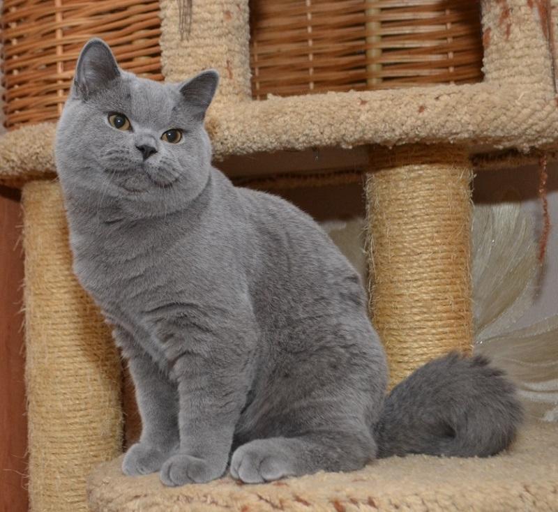 картинки британских кошек и котят короткошерстных тогда
