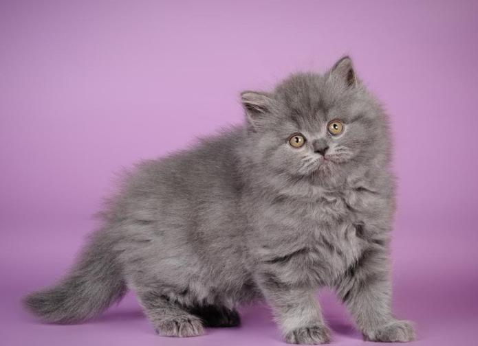 Котёнок британской длинношёрстной