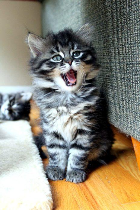 Сибирский котёнок
