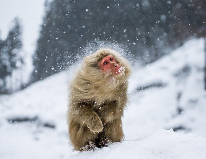 Обезьяна в снегу