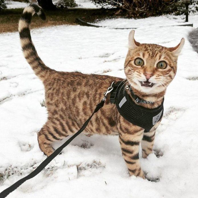 Кот гуляет по снегу