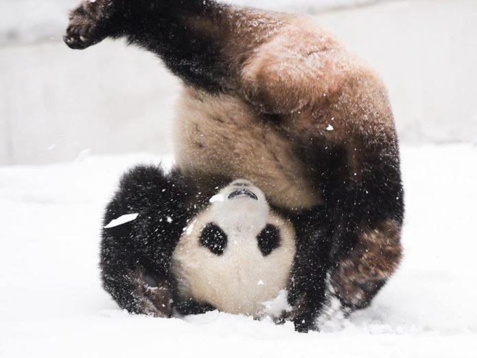 Панда кувыркается в снегу