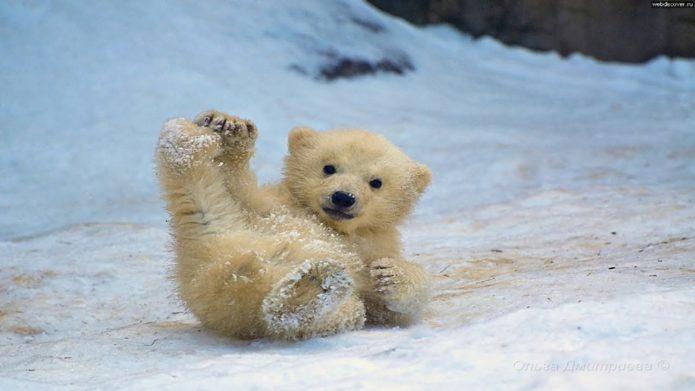 Белый медвежонок в снегу
