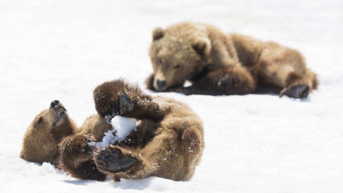 Мишки лежат на снегу