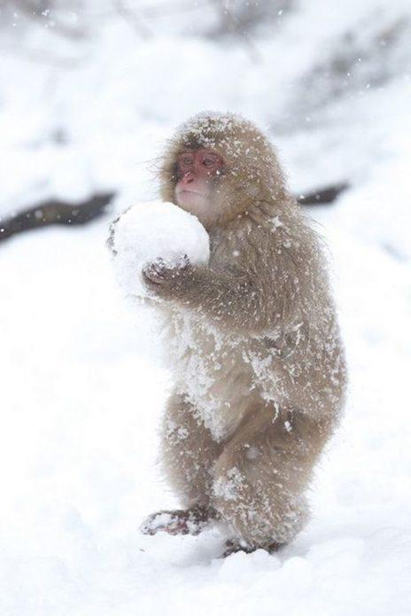 Обезьяна с комком снега в лапах