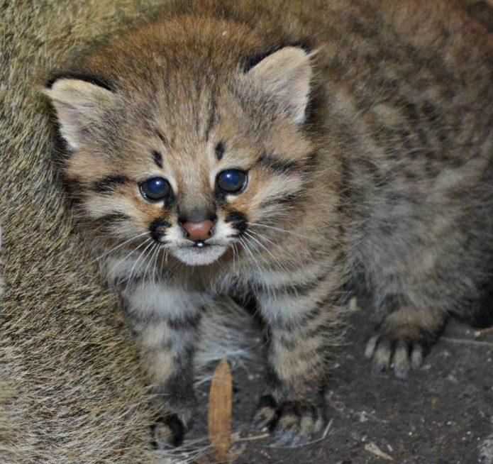 Котёнок пампасской кошки