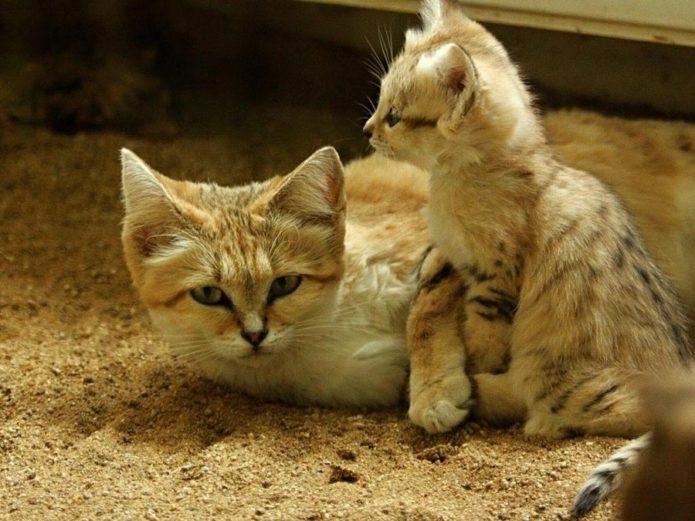 Котята песчаной кошки