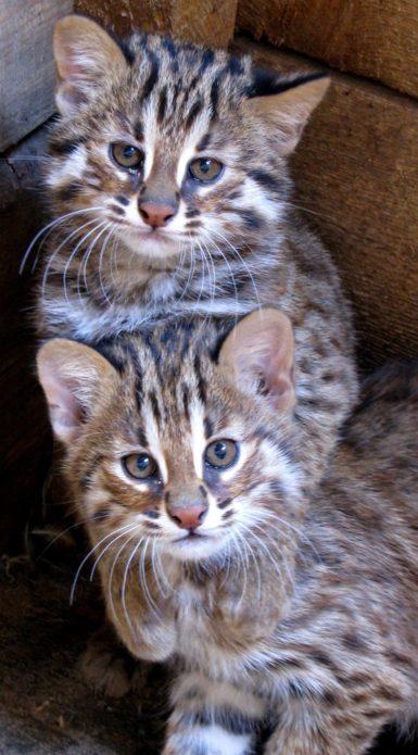 Котята дикого лесного кота