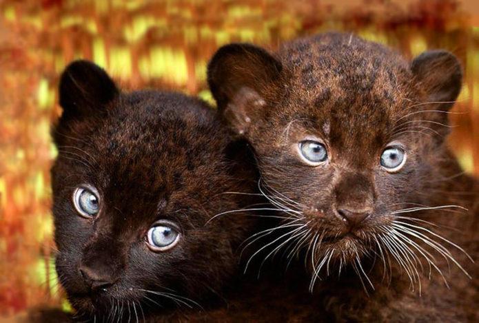 Котята пантеры