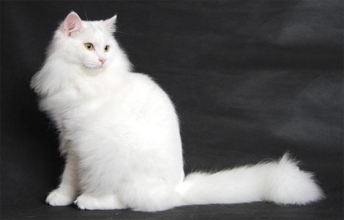 Белая сибирская кошка