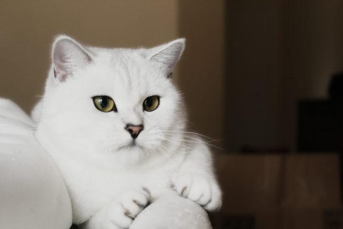 Британская белая кошка
