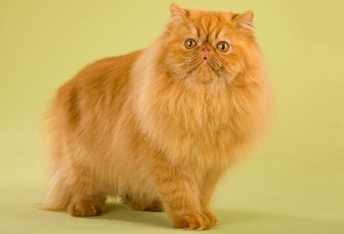 Персидская рыжая кошка