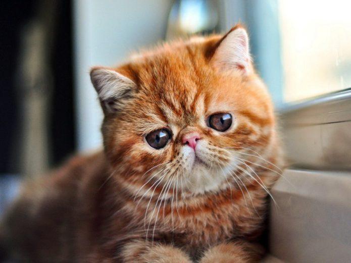 Рыжая экзотическая кошка