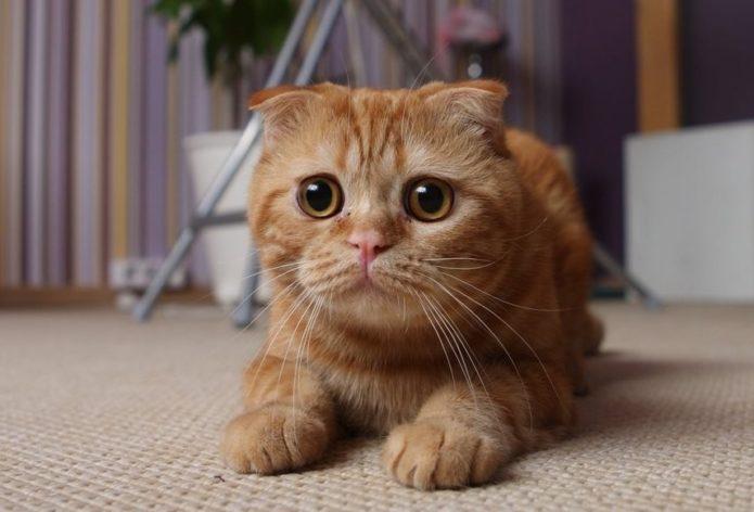 Британская рыжая кошка