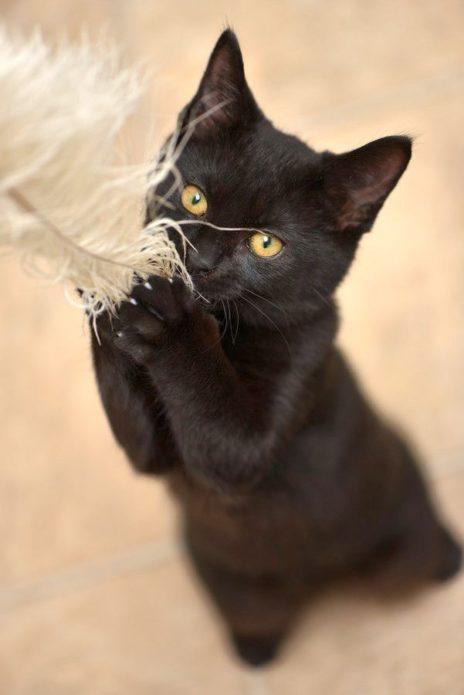 Чёрная бомбейская кошка