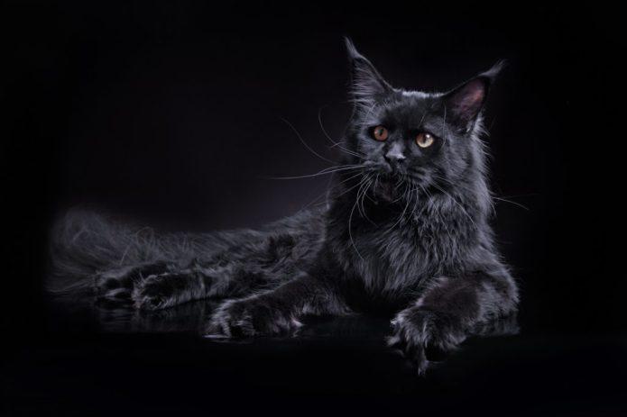 Чёрный мейн-кун