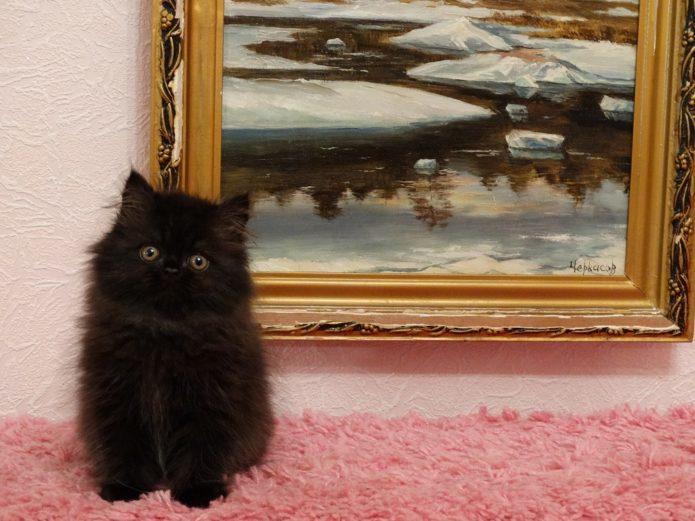 Чёрный персидский котёнок