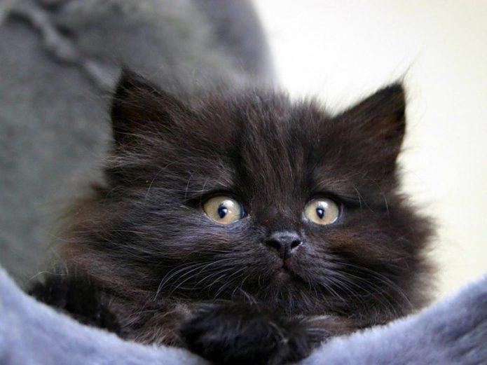 Чёрная сибирская кошка