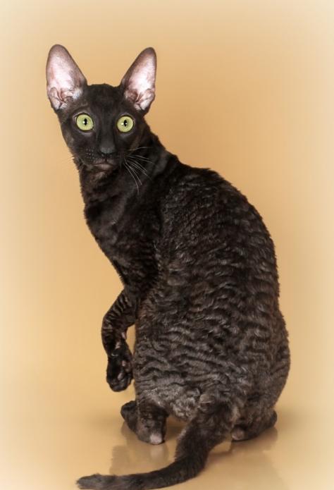 Чёрный девон-рекс