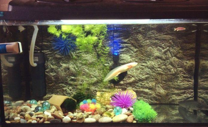 Асколотль в аквариуме