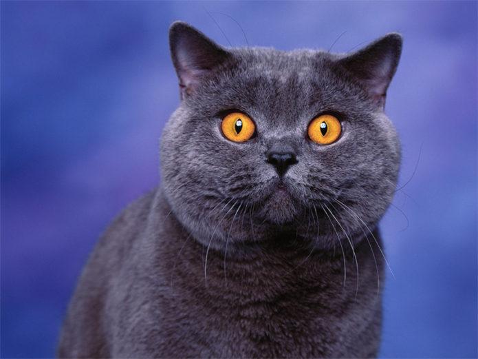 Британская кошка