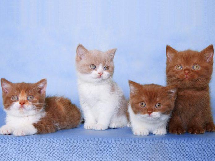 Котята с окрасом циннамон