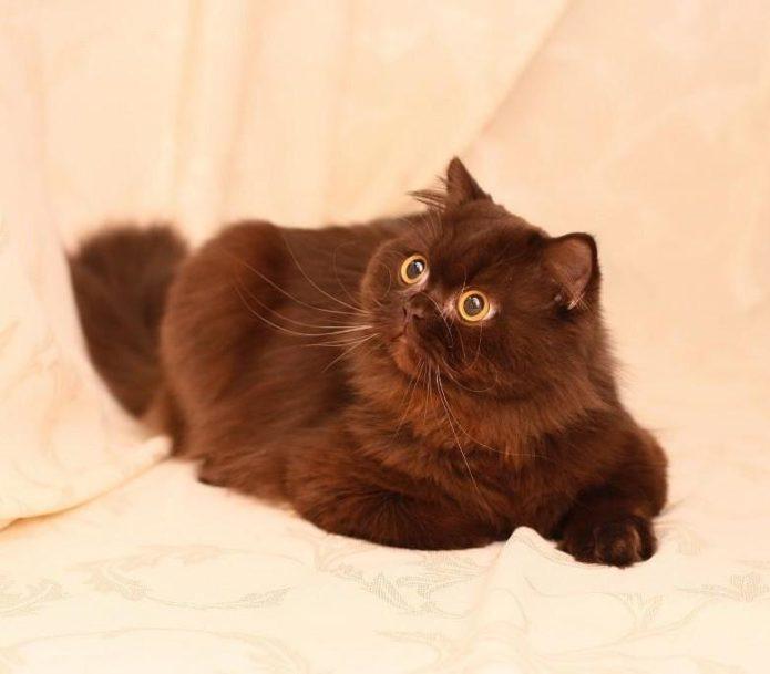 Кошка с окрасом циннамон