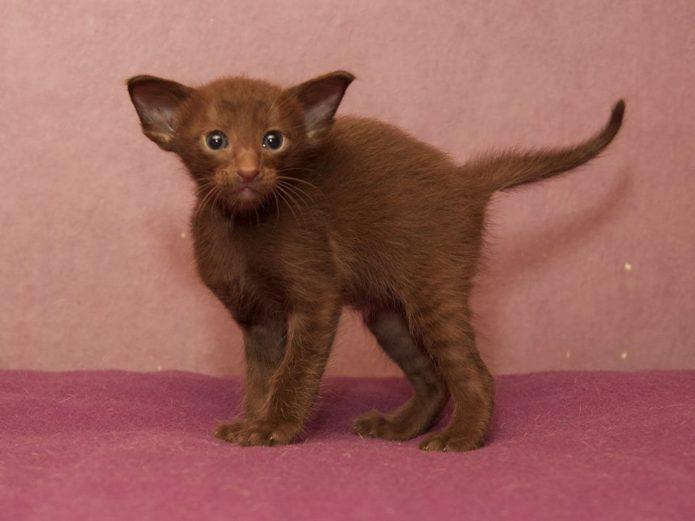 Ориентальная кошка с окрасом циннамон