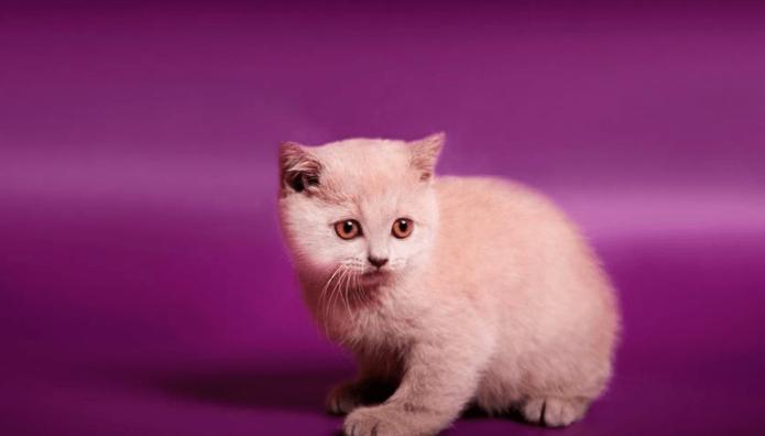 Кошка с лиловым окрасом