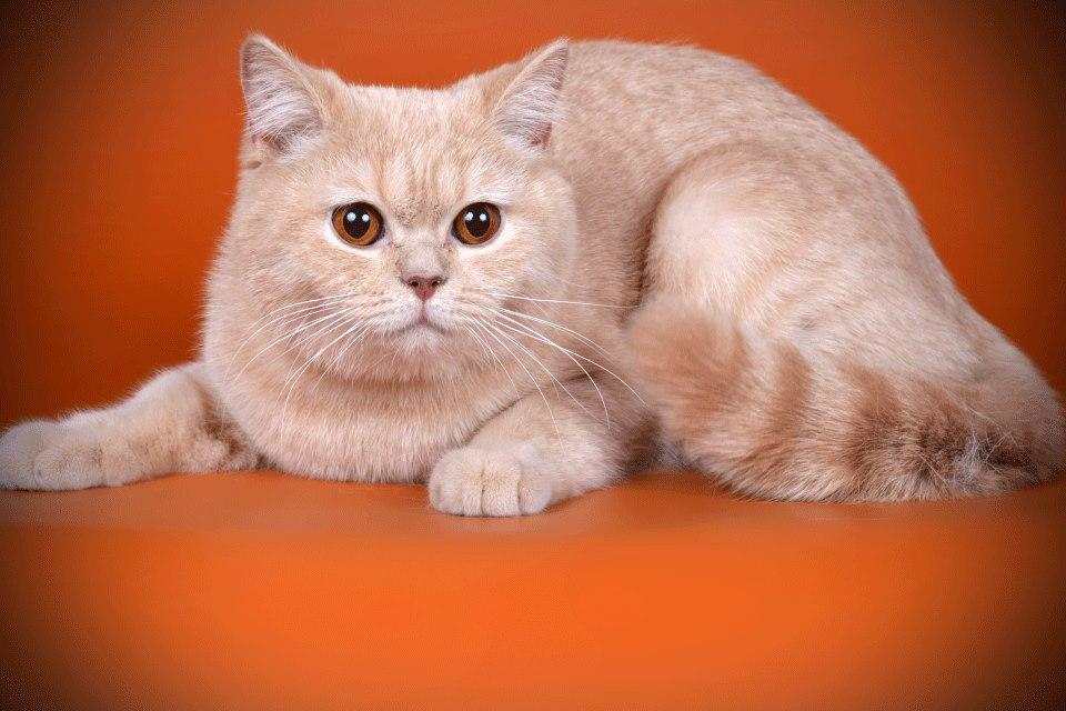 британские коты окрасы фото люблю