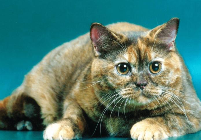 Черепаховый мраморный окрас кошек