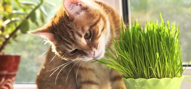 Кот ест траву на подоконнике