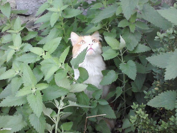 Кошка сидит в кустах кошачьей мяты