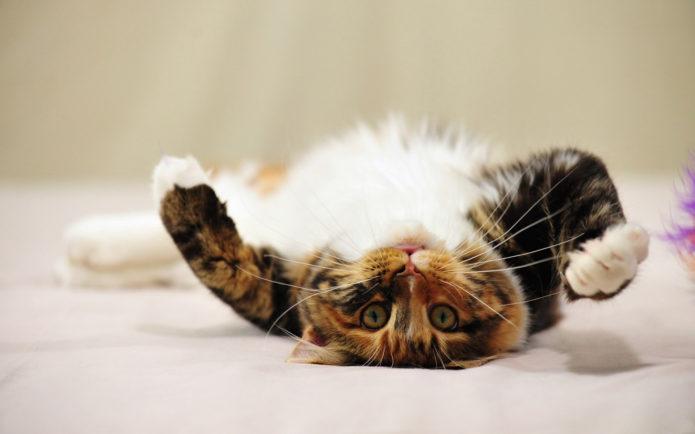 Кошка катается по полу