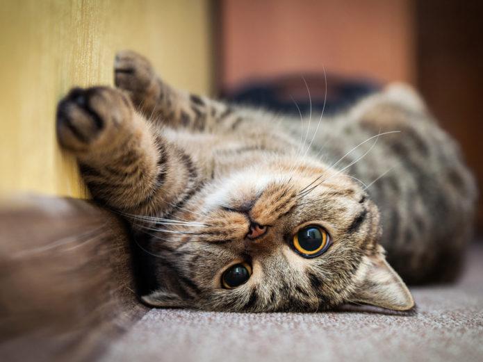 Кошка лежит на спине