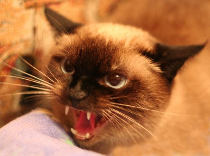 Кошка оскалилась и шипит