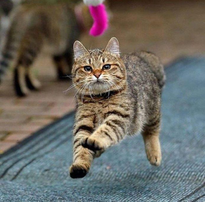 Кошка бежит