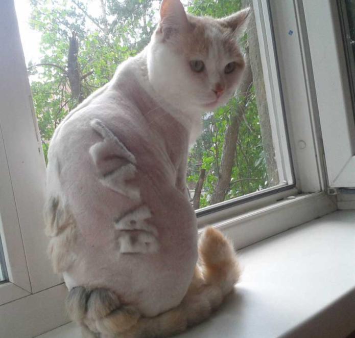 самые дурацкие стрижки кошек